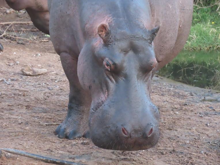 hippo close