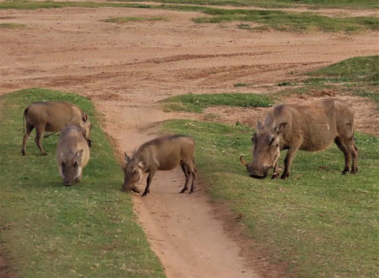 warthog fam