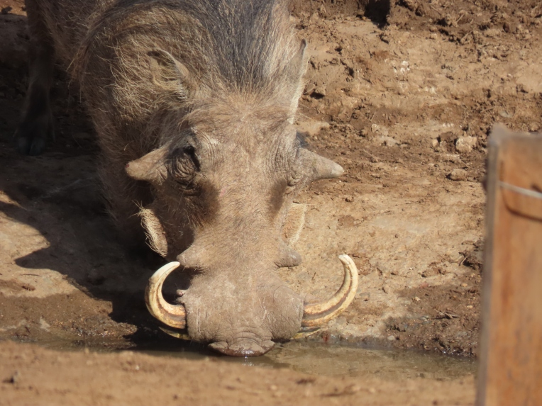 warthog water