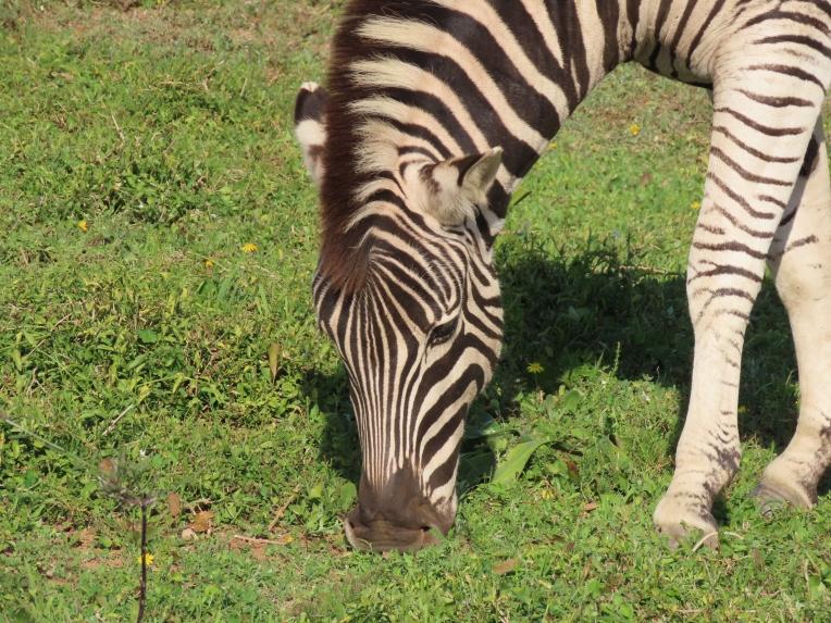zebra nose